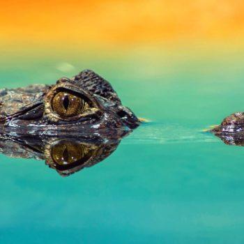 An alligator wait, no, a crocodile!